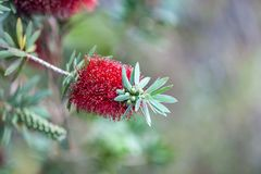 Bottle brush tree,Callistemon tree isolated Stock Photography