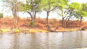 Bootskreuzfahrt und Safari der wild lebenden Tiere auf Chobe-Fluss, Namibia Botswana Grenze, Afrika stock video footage