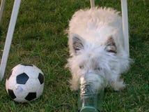 Boozer hund och sportar royaltyfri foto