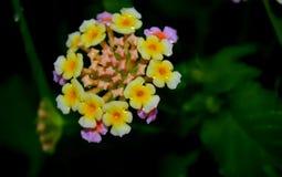 Boque amarillo y rosado de la flor Imagen de archivo
