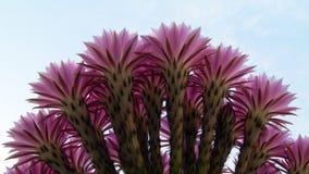 Boquet av trummakaktuns blommar i flodstranden Kalifornien Arkivfoto