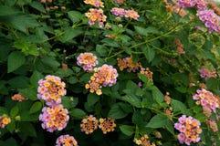 Boquet der coloful Blume in Prajinburi Thailand Lizenzfreie Stockfotografie
