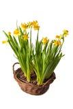 boquet koszykowi daffodils Zdjęcie Royalty Free