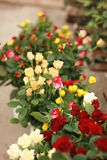 Boquet of roses. Beauty in nature - boquet of multi colored roses royalty free stock photo