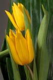 Boquet of tulips macro Royalty Free Stock Photography