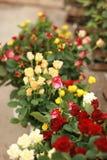Boquet van rozen Royalty-vrije Stock Foto