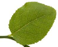 borówczany liść Zdjęcia Stock