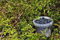 borówki lasowe zdjęcie stock