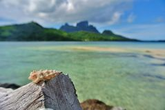 Bora Bora, seashell on driftwood stock images