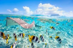 Bora Bora underwater. Colorful fish, stingray and black tipped sharks underwater in Bora Bora lagoon Royalty Free Stock Photography