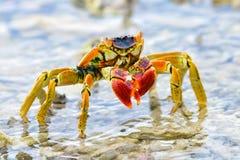 Bora Bora, Krabbe stockfotos