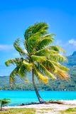 Bora Bora, Palme stockfotos