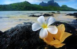 Bora Bora, tropische Blumen auf Lavafelsen stockfotos