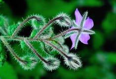 Borage, цветок, пурпур, цвести весны Стоковое Фото