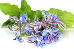 borage Royaltyfria Bilder