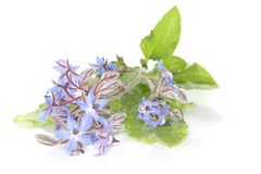 Borage Stock Image