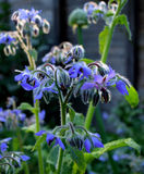 Borage fotos de stock royalty free