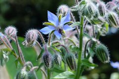 Borage Royalty Free Stock Photo
