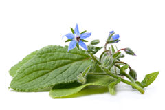 Borage Fotografia Stock