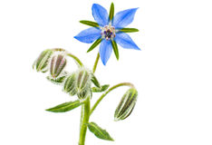 Borage Royaltyfria Foton