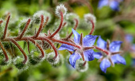Borage royalty-vrije stock fotografie