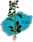 Borage vektor illustrationer