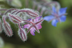 Borage Fotografia de Stock Royalty Free