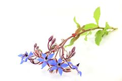 Borage Stock Images