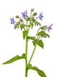 Borage (Borago officinalis) Stock Photo