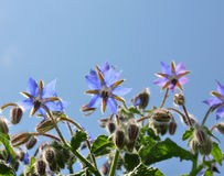 Borage (Borago officinalis) Royalty Free Stock Photo