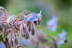Borage (Borago officinalis) Zdjęcia Royalty Free