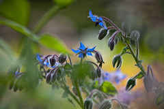 Borage (Borago officinalis) Fotografia Stock