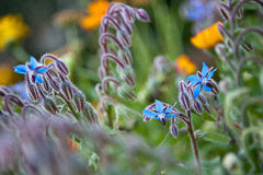 Borage (Borago officinalis) Zdjęcie Royalty Free