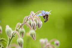 Borage (Borago officinalis) Zdjęcie Stock