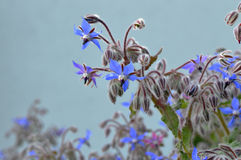 Borage Borago officinalis Stockfotos