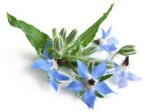 Borage (Borago officinalis) Stock Image