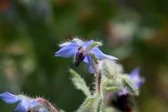 Borage (Borago officinalis) Royalty Free Stock Photo