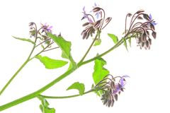 Borage (Borago officinalis) Stock Photography