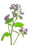 Borage (Borago officinalis) Stock Photo