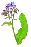 Borage (Borago officinalis) Royalty Free Stock Image