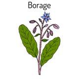 Borage Borago officinalis oder starflower, kulinarisch und Heilpflanze vektor abbildung