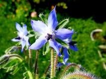 Borage, Borago officinalis, starflower, rodzinny Boraginaceae Borretsch zdjęcia stock