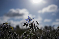 Borage dzikiego kwiatu gwiazdy zielarski aka kwiat Fotografia Royalty Free