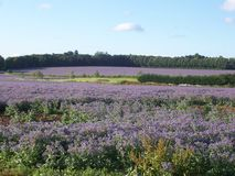 Borage Fields Royalty Free Stock Images