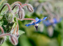 Borage flower Royalty Free Stock Photo