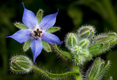 Borage Flower Stock Photography