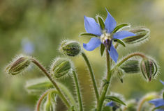 Borage flower Royalty Free Stock Image