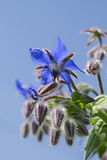 Borage flower macro Stock Photos