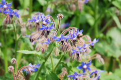 Borage Flowers Royalty Free Stock Images
