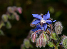 Borage flowers (Borago officinalis) Royalty Free Stock Images